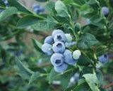 Bluegold Blueberry
