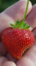 Seascape Strawberry
