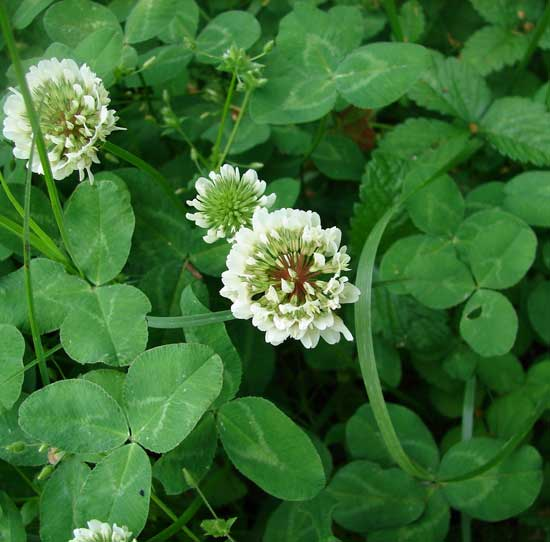 White Clover as a Living Mulch