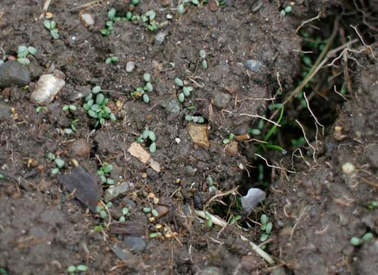 White Clover Seeds Germinating