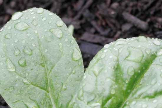 Water on Spinach