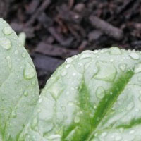 Water Droplets on Spinach
