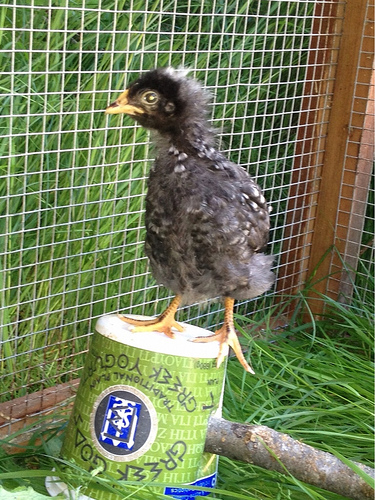Our chickens are at the awkward teenage stage where they look gangly. I'm sure there's acne under those new feathers.