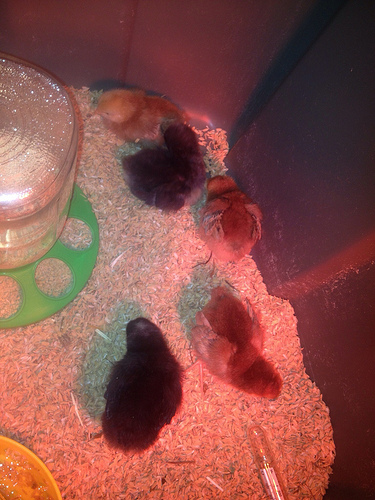 Our baby chicks at home, shortly after getting their brooder set up