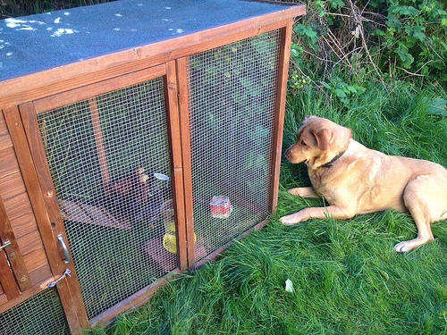 Our dog Ben inspecting the temporary chicken coop, looking for a way in.