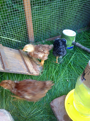 Pullets running around the chicken coop